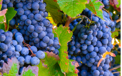 Studies on Grape Seed Extract Show Blood Pressure and LDL Cholesterol Benefits